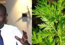 """VIDEO: Pr Daouda Ndiaye : Pourquoi la plante """"Artemisia"""" n'est pas conseillée pour le traitement du """"Palu"""""""