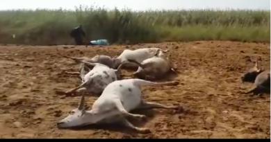 VIDEO – Mort de ses 9 bœufs: Cet éleveur tombe en transe